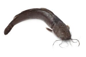 Single fresh catfish on white background