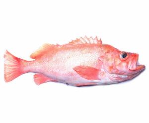 roodbaars